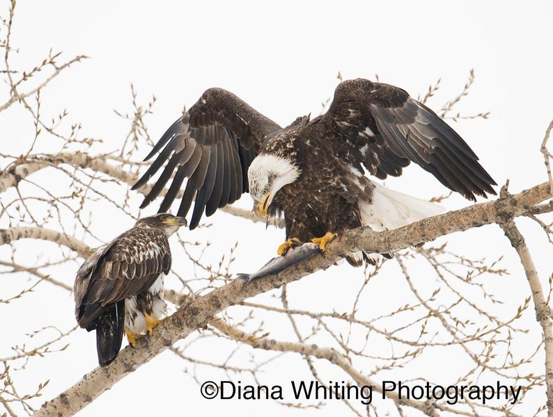 Bald Eagle 8 copy.jpg