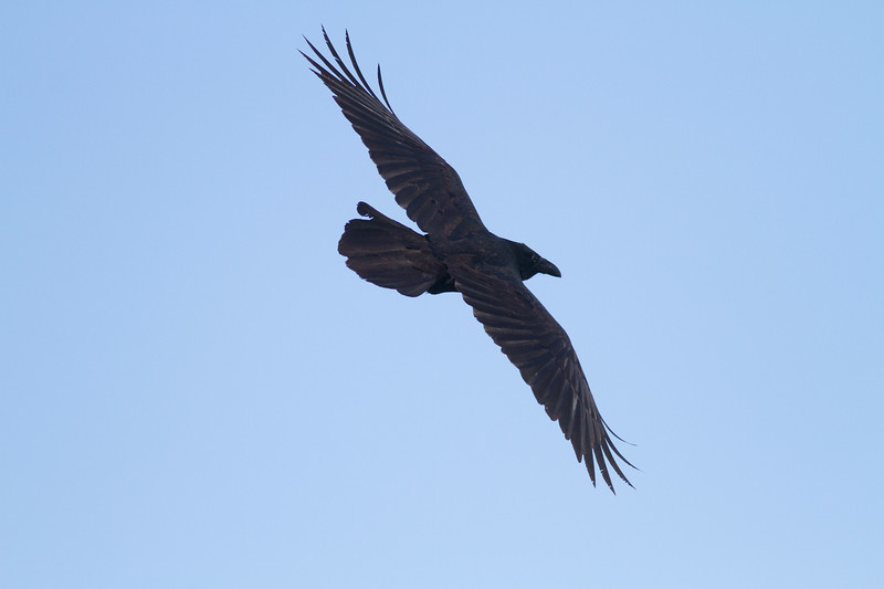 Common Raven in flight over Hawk Ridge Bird Observatory Duluth MN IMG_0296.jpg