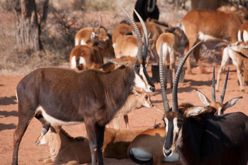 Pronghorns in Mattanu Private Game Reserve in South Africa