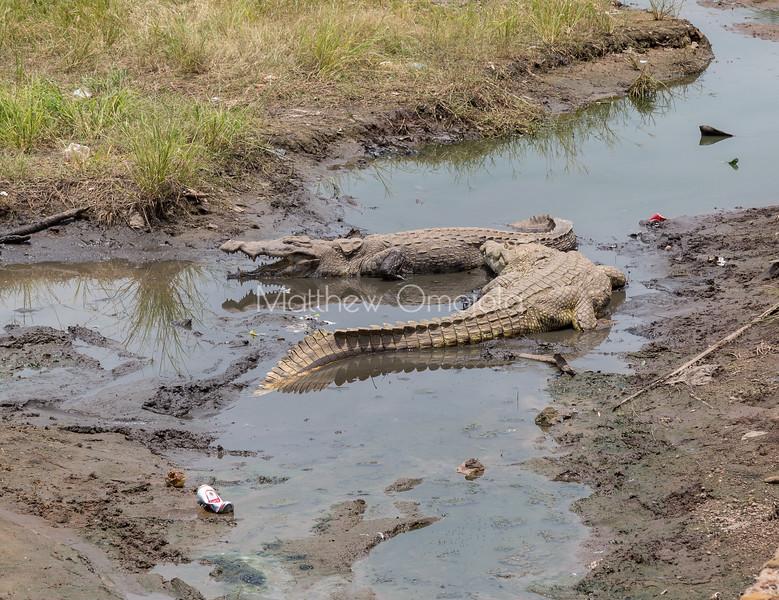 Crocodiles in Yamoussoukro president palace Ivory Coast Cote d'Ivoire