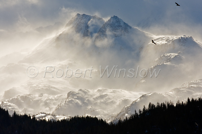 Bald Eagle, Haliaeetus leucocephalus, Flying, Mountains in Background, Kenai Peninsula, Alaska
