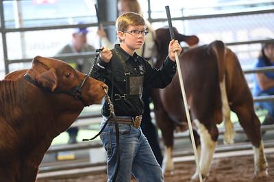 Open Cattle Ringshots - Bulls