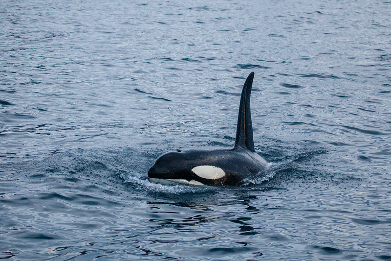 Norway_Orcas-3.jpg