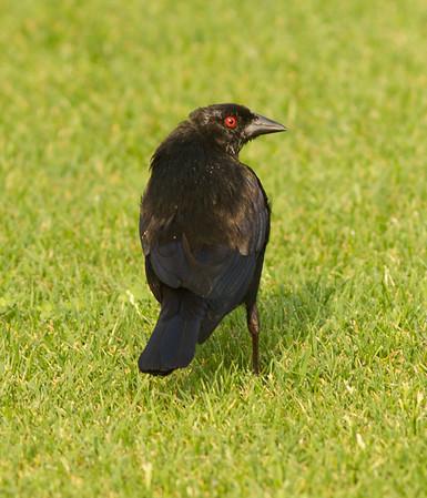 Bronzed Cowbird Molothrus aeneus