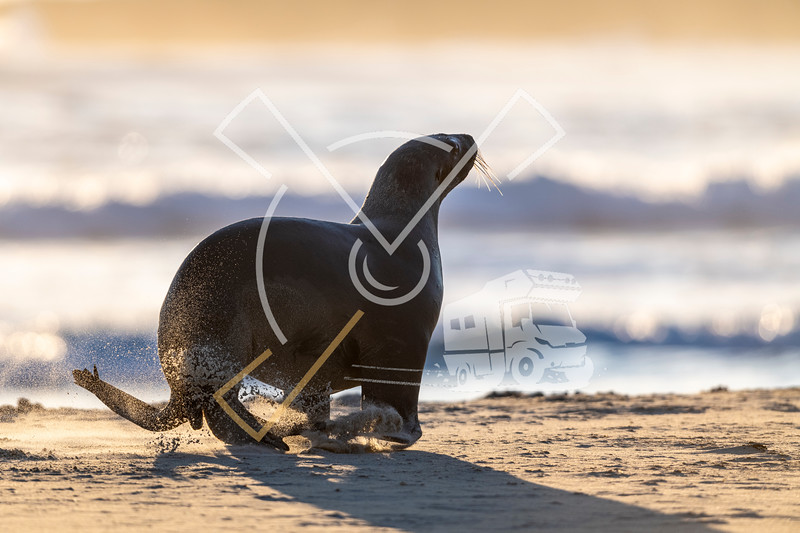 Portrait of female New Zealand Sea Lion playing on the sand of Sandfly beach