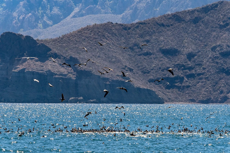 Brown pelicans follow whales as they churn up fish.