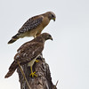 Married Couple Red-Shouldered Hawks