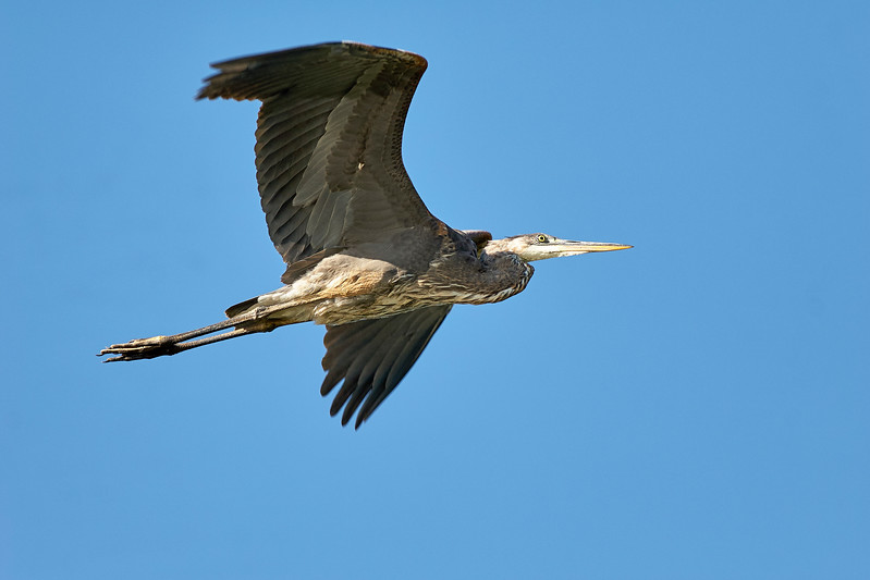 GBH in Flight.jpg