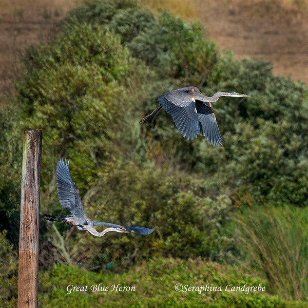 _DSC9578Two Great blue herons.jpg