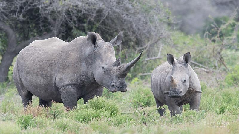 White Rhino, Phinda, KZN, SA, Oct 2016-5.jpg
