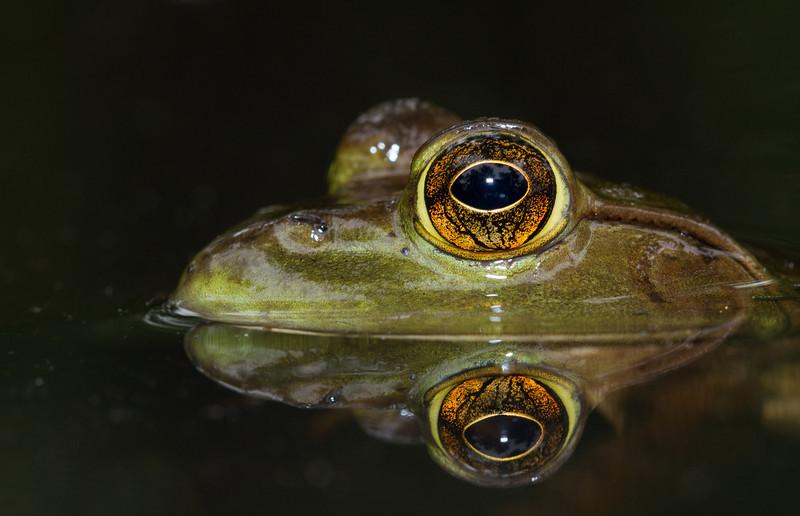Bullfrog (1 of 1).jpg