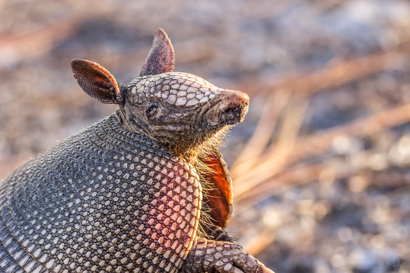 Smiling nine-banded armadillo :)