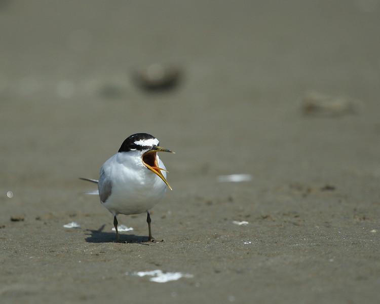 A tern found on an island sandbar, kayaking off Road K, Hampton Bays.