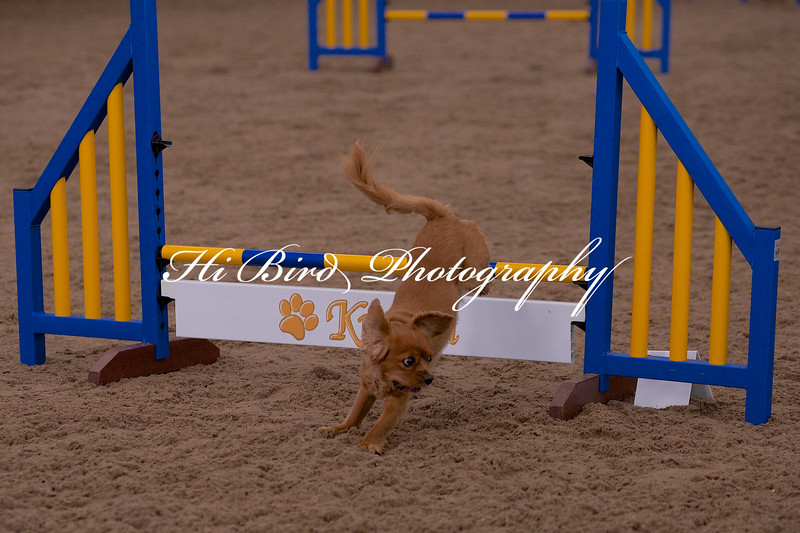 small dog agility 1137.jpg