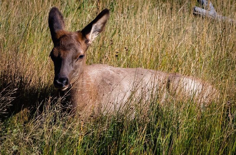 Elk baby cropped 091918.jpg
