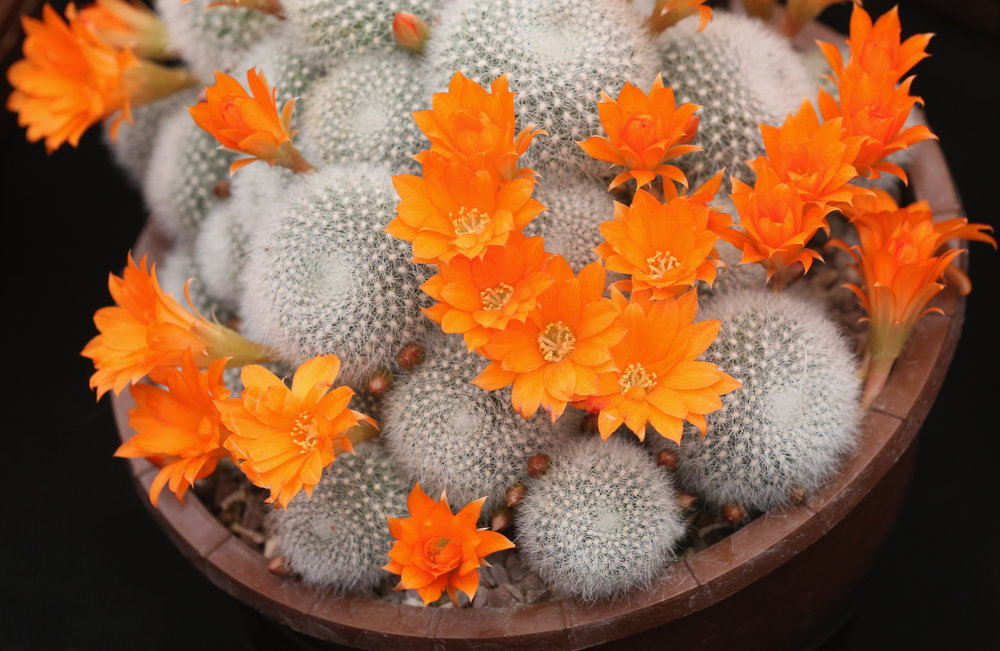 . A Rebutia muscula cactus on display on the \'Southfield Nursery\' stand at the RHS Chelsea Flower Show on May 21, 2013 in London, England. The Chelsea Flower Show run by the RHS celebrates its 100th birthday this year.  (Photo by Oli Scarff/Getty Images)