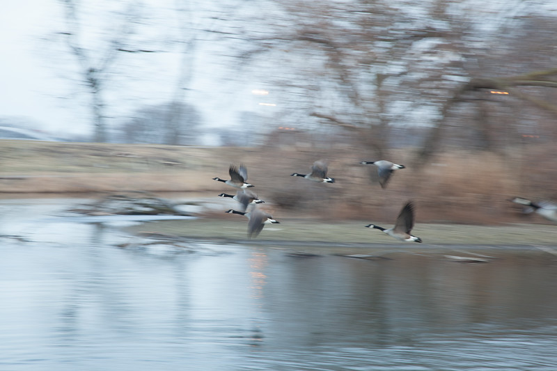 And the geese head out for the evening.