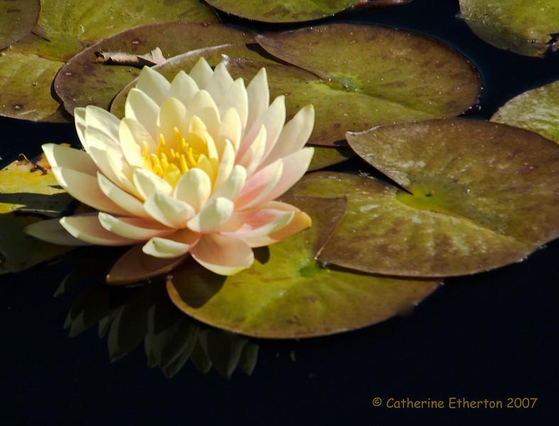 Waterlilly 2.jpg