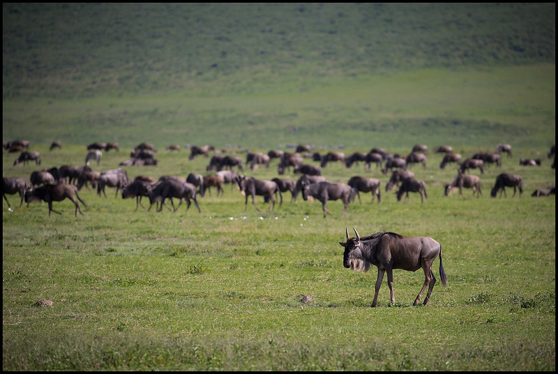 Wildebeest herd, Ngorongoro Conservation Area