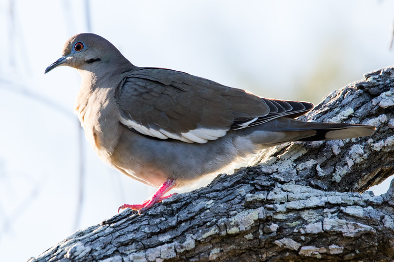 White-winged Dove Aransas TX 2020-4.jpg