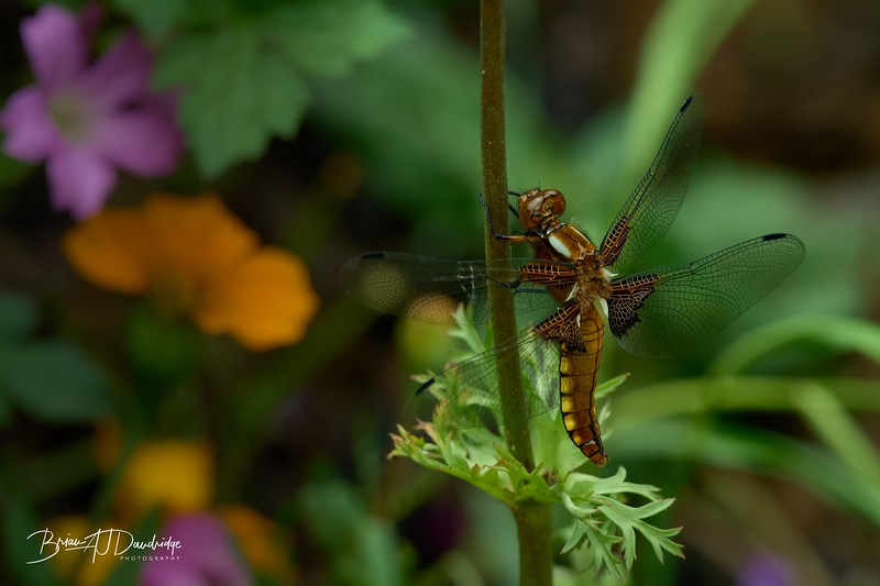Broad-bodied Chaser-0301_DxO - 2-44 pm.jpg