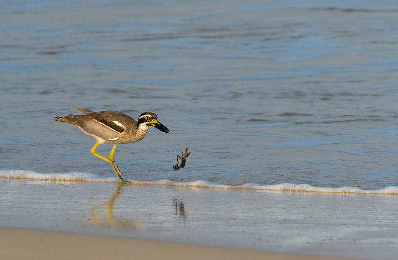 Beach-Thick-knee-with-crab-little-andaman-2.jpg