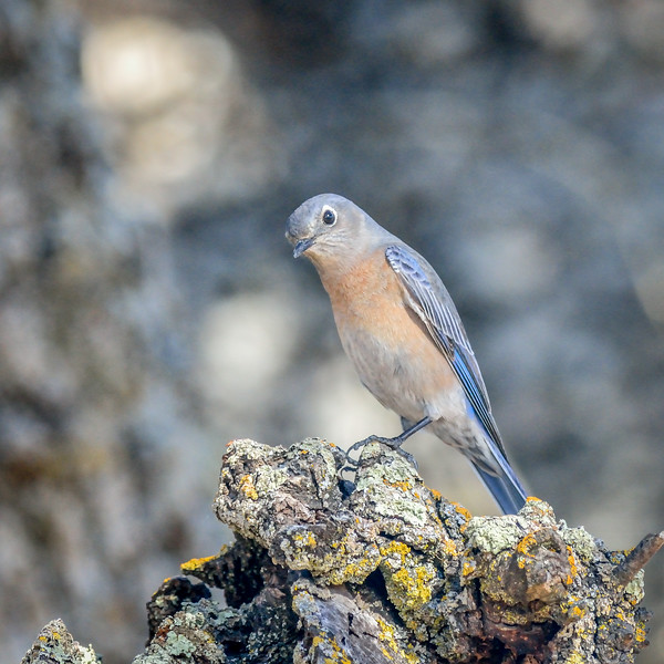 -_Western Bluebird 2014-10-04 Harvey Bear Ranch-4.jpg
