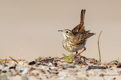Pipits, Songlarks, Bushlarks, Cuckoo-Shrikes, Trillers
