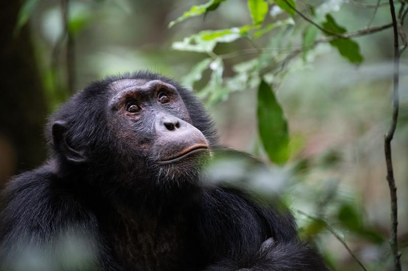 Uganda_T_Chimps-837.jpg