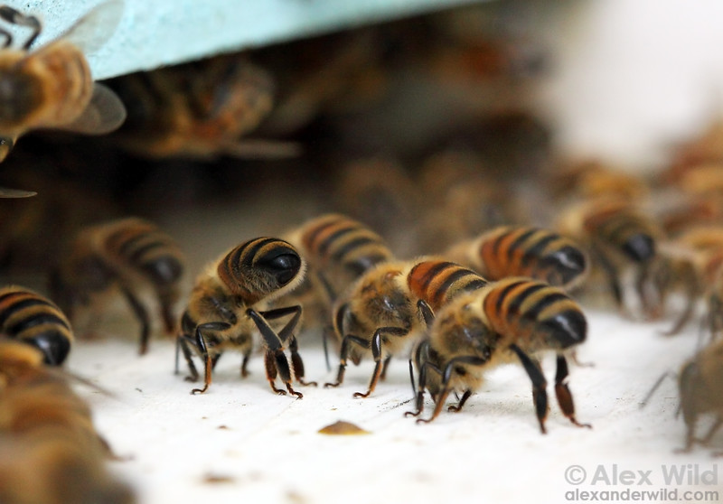 Scores of worker bees fan their wings at the hive entrance on warm afternoons.