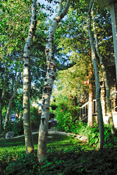 2011/7/23 – I always wanted a forest around my home. When we built our home I planted many trees with the hope that someday they would fill my yard. This is the front yard now looking east, north east. I have my forest now.