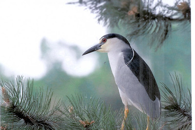 Black-crowned Night Heron, Kwak, Nycticorax nycticorax