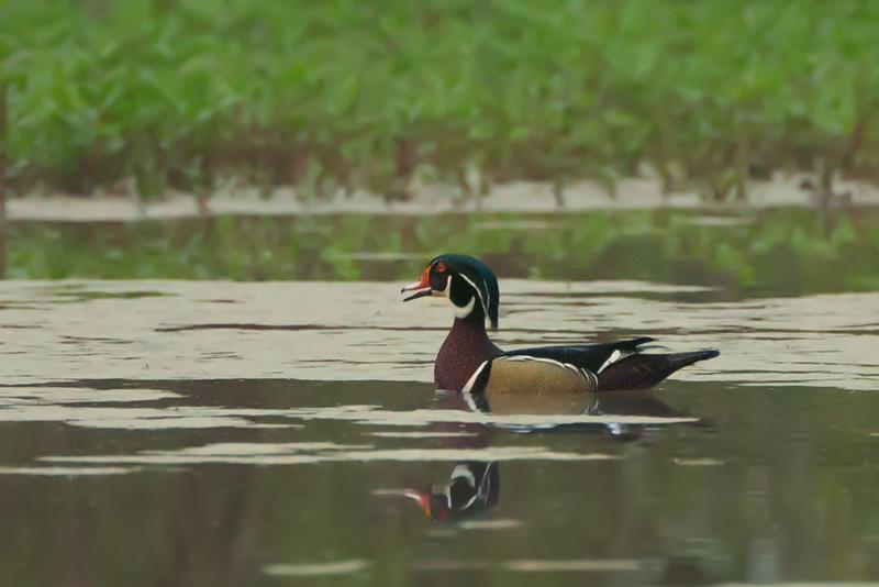 Wood Duck on Avery Island.