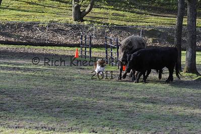 Colonial Rottweiler Club/Del-Bay Herding Trial May5-6