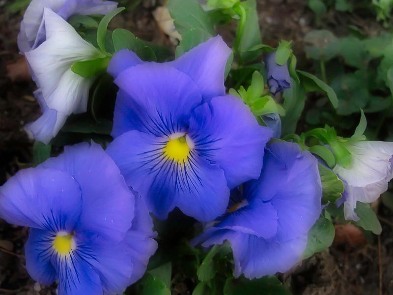 January 25 - Purple flowers