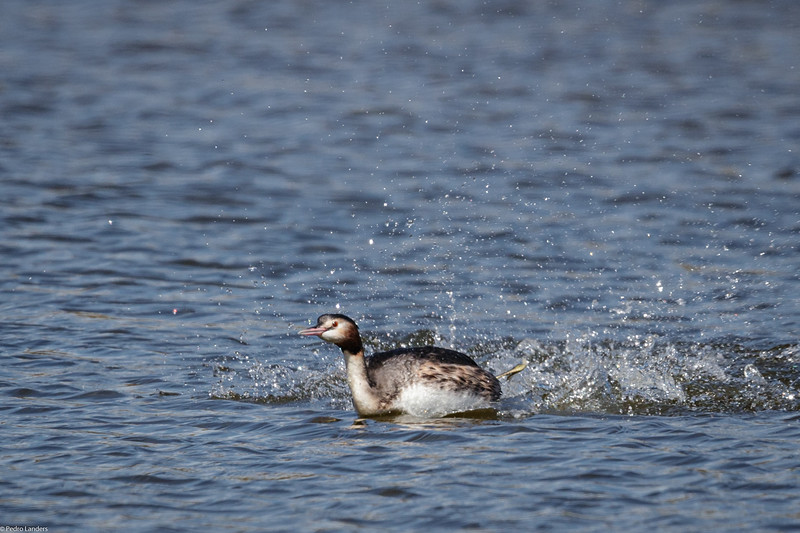 Grebe in Motion