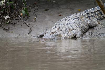 Saltwater (Estuarine) Crocodile (Crocodylus porosus)