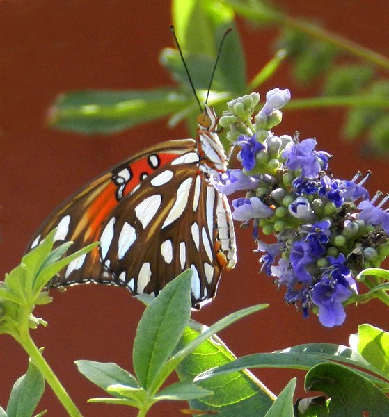 Gulf Fritillary on Vitex.jpg