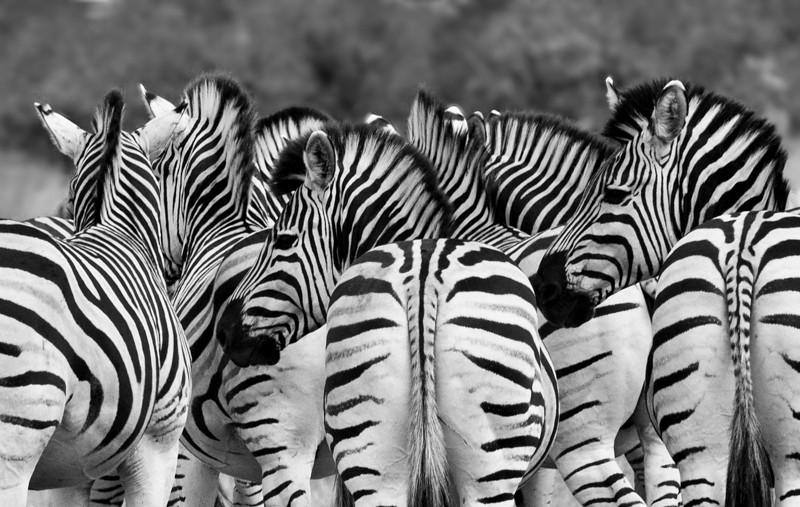 Zebra-31.jpg
