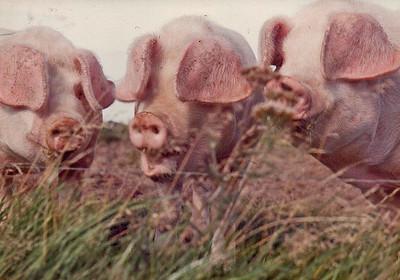 Pig Album 1978-1980