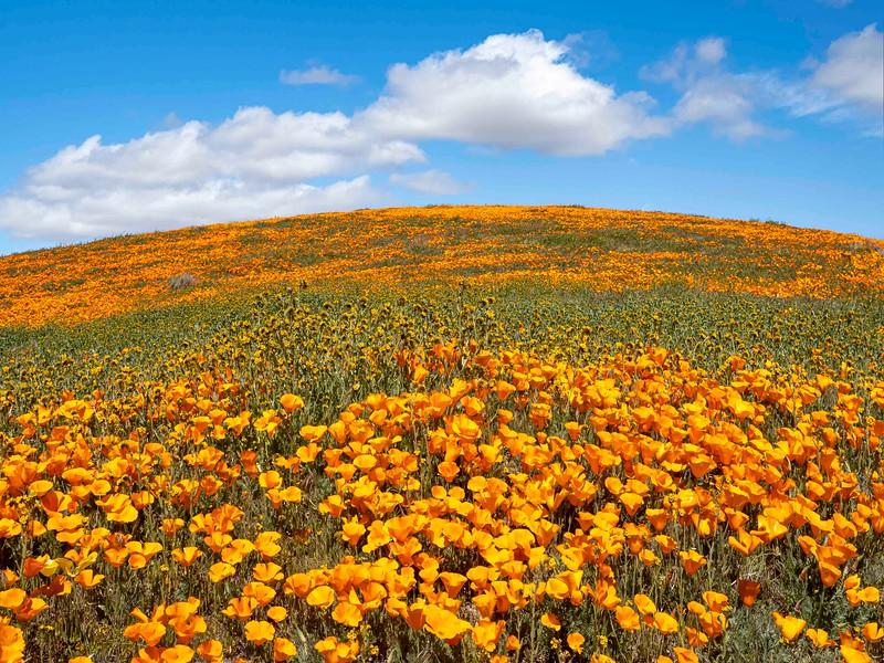 Poppy Reserve-23.jpg