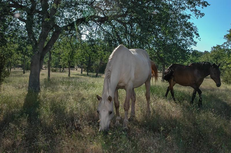 White Wild Horse Grazing Under Tree #1