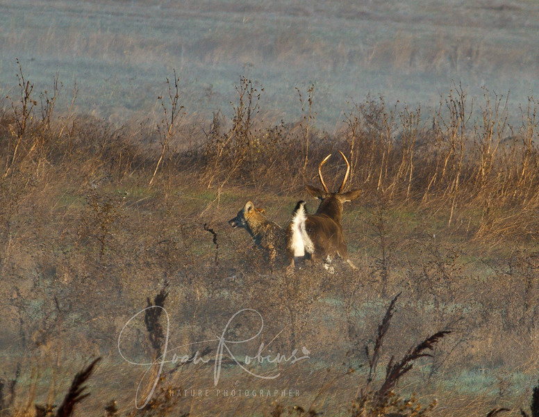 Buck chases coyote