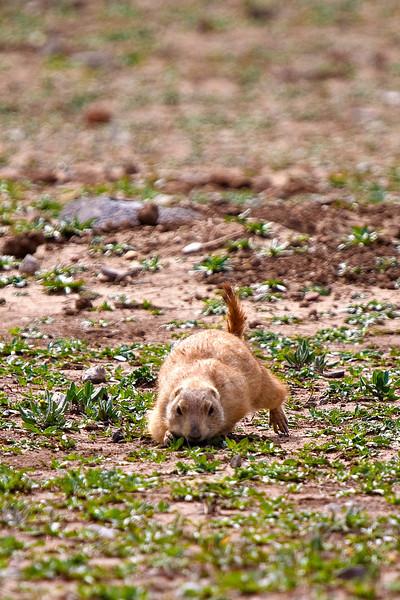 Prairie Dog-5