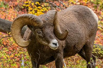 Bighorn Sheep and Mountain Goats