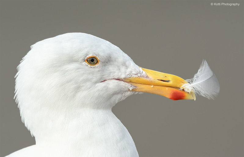 Western Gull with Feather
