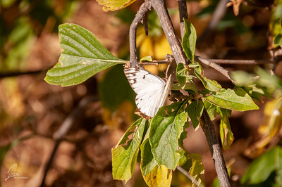White, African Veined (spp. abyssinica)