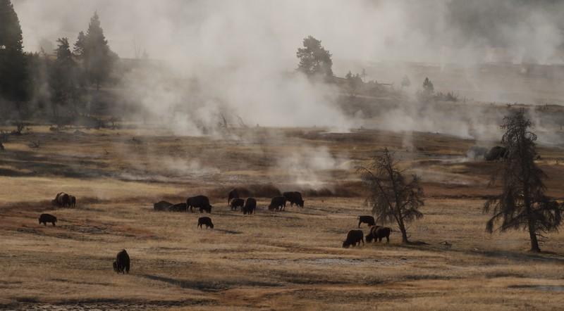 Lower Geyser Basin and Bison Yellowstone N.P. WY IMG_0069400.jpg