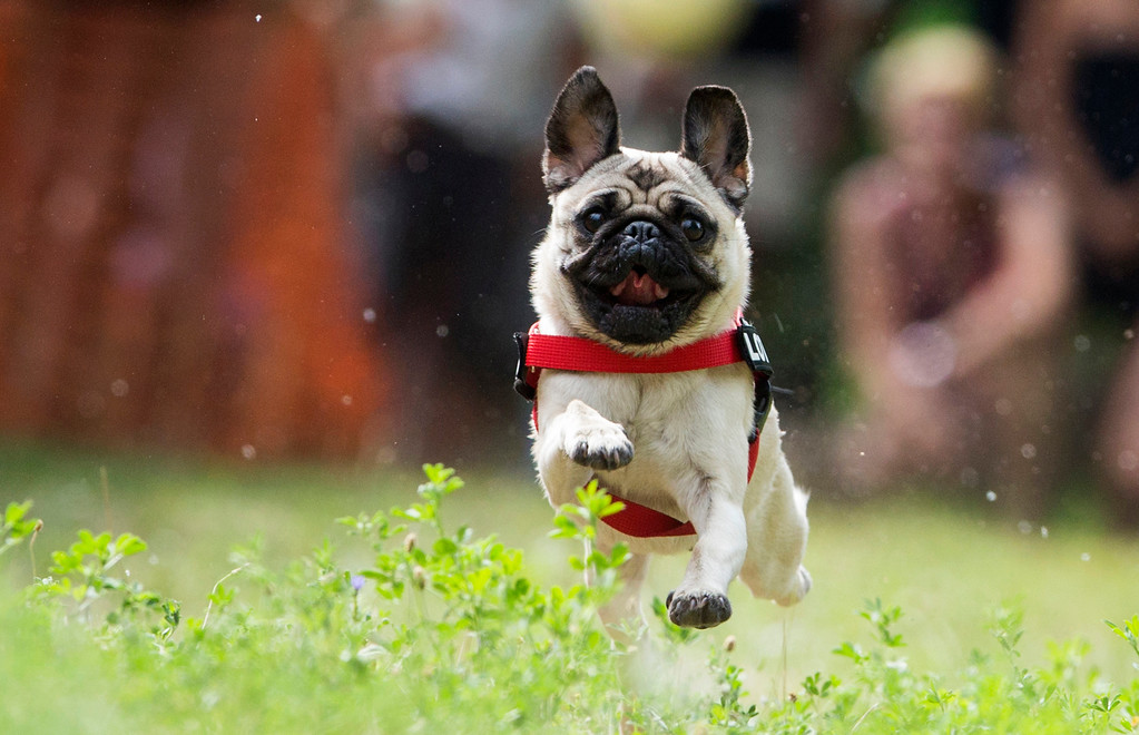 """. Pug dog Lotte races during a pup dog meeting in Berlin, Germany, Saturday, Aug. 3, 2013. Some 40 pup dogs and their owners met in Berlin for the \""""4th International Pup Dog Meeting\"""" including a dog race. (AP Photo/Gero Breloer)"""