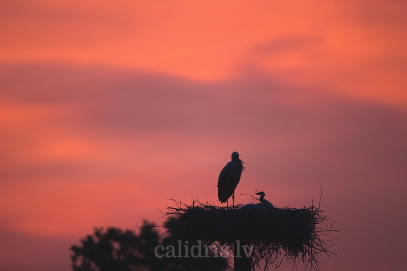 Silhouette of a white stork in a nest in front of red sky of sunrise
